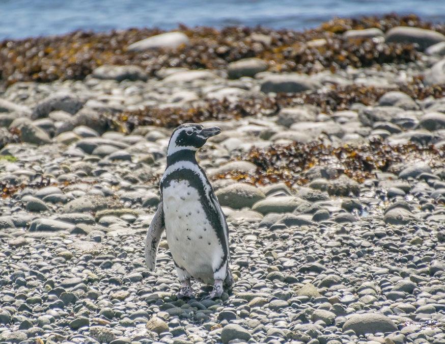 pinguino de magallanes queilen