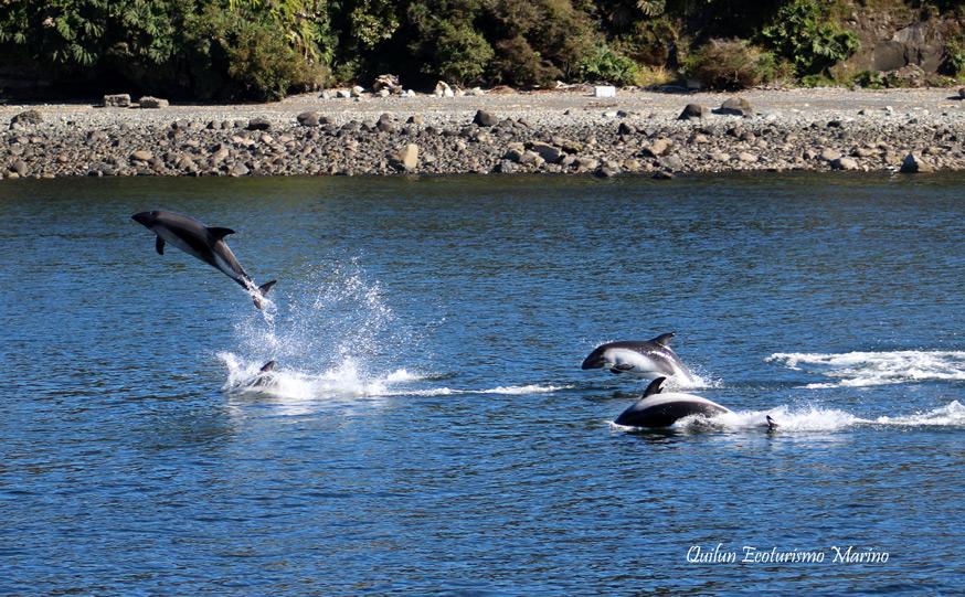 imagen delfin austral