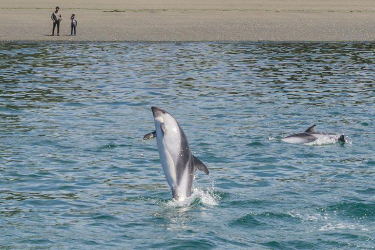 imagen delfin chiloe